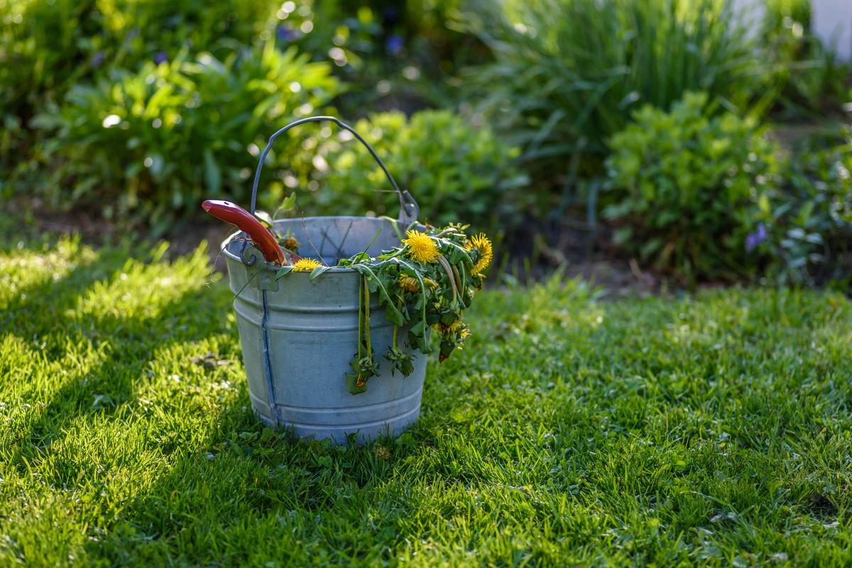 Dandelions in bucket